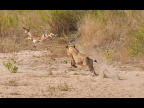 Lionesses left hungry after two Impalas outran them failed attempt. Amazing chase 13 June 2020