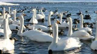ピョートル・チャイコフスキー作曲、白鳥の湖、第二幕「情景」より。音...
