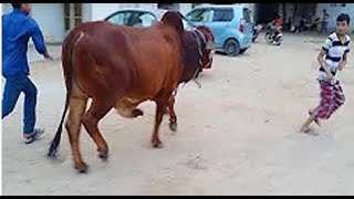 Eid ul azha 2018 funny video / Korbanir Eid Special / Rashed / Mr