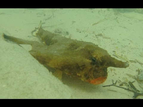 Red Lipped Batfish - Varadero Cuba