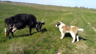 Это любовь. Собака и корова. Dog and cow. Корова целует собаку. Московская сторожевая.