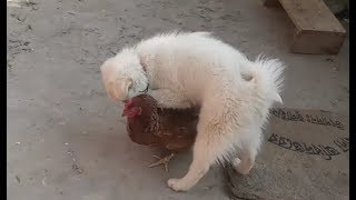 Playing Together Dogs and Hen - Funny Babies||पप्पी र पोथि कुखुराको प्रेम||CMC Channel