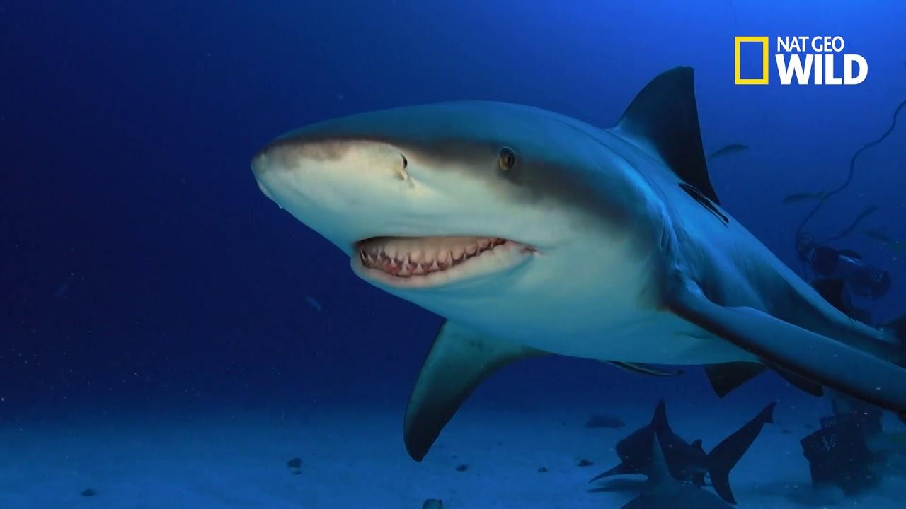 Le requin bouledogue redoutable meurtrier des mers youtube - Photo de requin tigre a imprimer ...