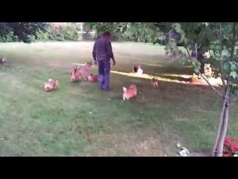 Élevage de Norwich-Terrier et de Norfolk-Terrier du pré de la Croix-Verte