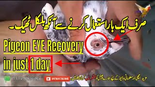 how to cure pigeon EYE problems| kabootar ki aank ka elaj | 1 day use 100% result