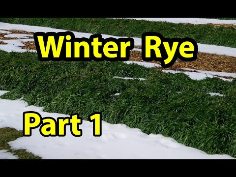Winter Rye Cover Crop Test.. Organic gardening 101. Part 1
