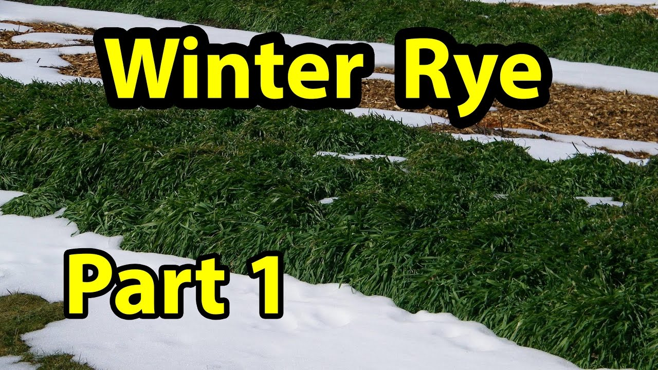 winter rye cover crop test trial for no till organic gardening 101