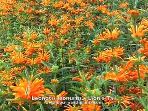 Leonotis leonurus - Lions Tail - YouTube