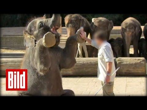 Elefanten-Babys mit Metallhaken geschlagen - Zoo Hannover
