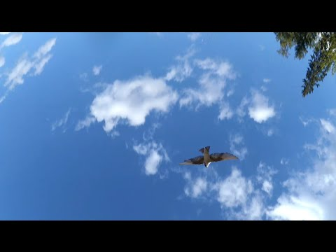 Drone Chase with Bird on Follow