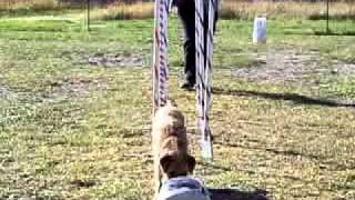 Agility Weave Pole Training - Independent Weaving With Remote Reward