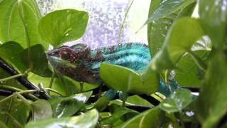 Blue bar Ambanja panther Chameleon