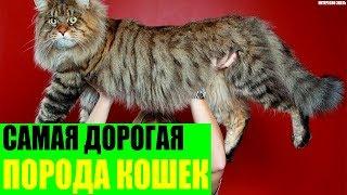 Самая дорогая и самая крупная порода кошек в Мире