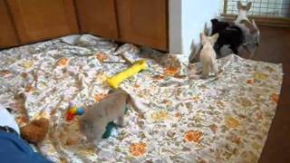 Chihuahua Puppies For Sale In Oregon Anna And Sally Pups 5 22 11.wmv
