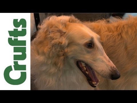 Crufts 2012 - Borzoi Best of Breed