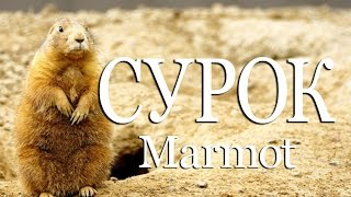 Сурок — Marmot