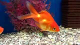Золотая рыбка Риукин Содержания и уход!