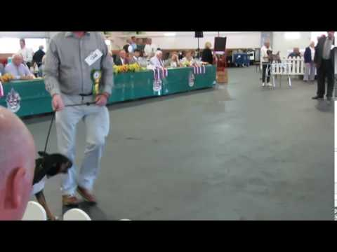 Terrier Group Bull Terriers Standard Paignton Championship Dog Show 06/08/16