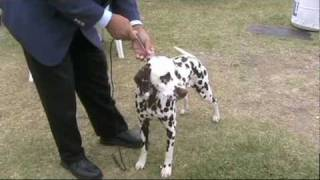 Dalmatians Puppies ( Liver Puppy ) W/ Breeders In Dog Show
