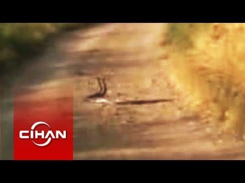 Yılanların yol ortasındaki dansı görüntülendi