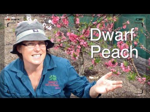 Dwarf Peach Tree in Flower - Favourite Fruit Tree