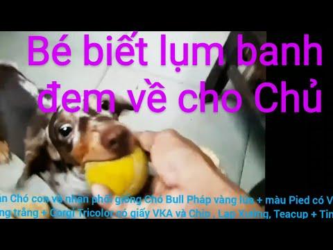 Chó Lạp Xưởng Sôcôla loang thông minh biết lụm banh . Dachshund puppy smart playing with ball