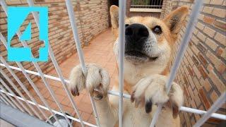 Korean Jindo Dog Documentary 4/4 Last - 한국의 명견, 진도개, 진돗개 - The World Premium Dog