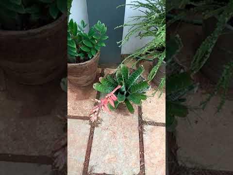 Aechmea Bromeliads Plant
