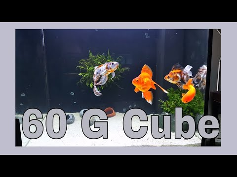 Fancy GoldFish Cube! Ryukin, Calico, Lionhead, Shubunkin. Pleco Cleaning Time Lapse!