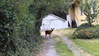 Curious Deer vs. My House Cat