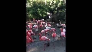 Flamingo  at feeding time at the San Diego Zoo