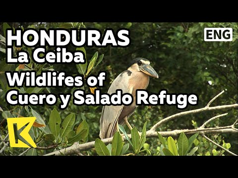 【K】Honduras Travel-La Ceiba[온두라스 여행-라세이바]살라도 자연보호림/Wildlifes of Cuero y Salado Refuge/Nature/Forest
