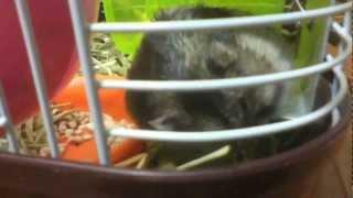 my hamster felt down agaaain!!また落ちた! ハムスター