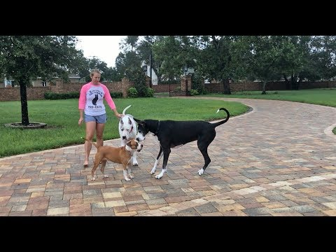 Max and Katie the Great Danes are Safe After Irma