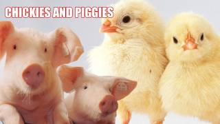 CHICKIES AND PIGGIES