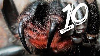 Najbardziej jadowite pająki świata!