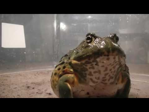 Little Blue My Giant African Bullfrog Eating Mouse Youtube