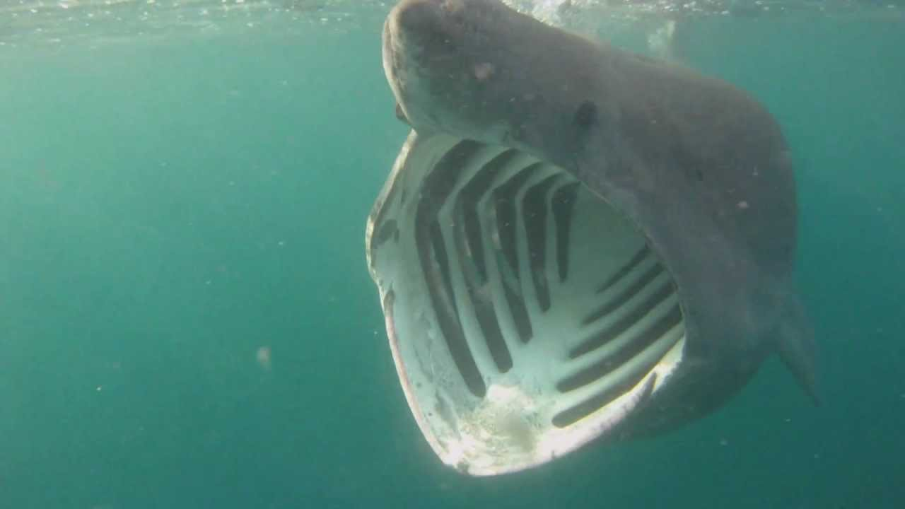 Basking Sharks Cornwall - YouTube