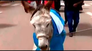 Puno: llevan a burro para reemplazar a alcalde