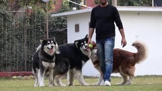 ALASKAN MALAMUTE || DOG KENNEL || KNOW ABOUT ALASKAN MALAMUTE || VIKRANT SHOKEEN || SCOOBERS