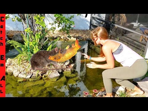 RAT STEALING FISH From KOI POND!
