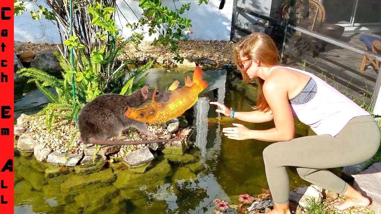 Rat stealing fish from koi pond youtube for Koi pond videos