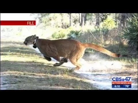 Rare Spotting Of Florida Panther In Fernandina Beach Neighborhood
