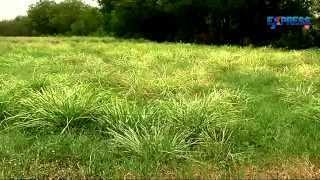Aromatic Plant Lemongrass or Nimma Gaddi Cultivation and Processing | Paadi Pantalu | Express TV