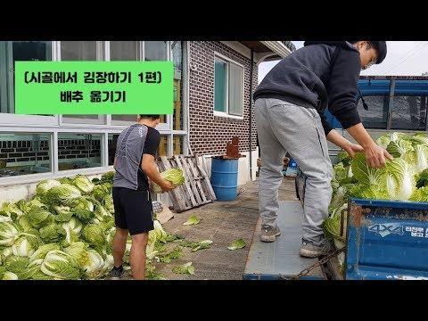 (시골에서 김장김치 하기 1편) 배추 뽑아서 옮기기 Making Kimchi In The Country