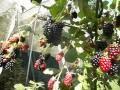 Выращивание ежевики двойная обрезка куста описание посадка и уход высокая урожайность mp3
