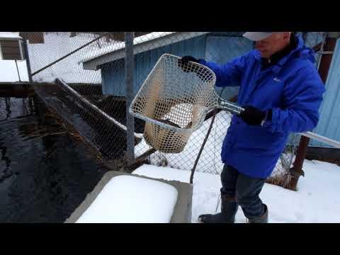 Lake Huron Fishing Club Stocking Efforts
