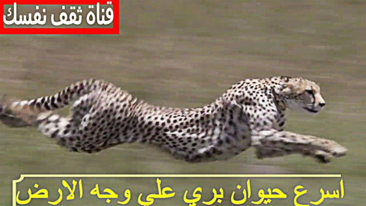اسرع حيوان بري علي وجه الارض تصل سرعة إلى 112 كلو متر في الساعة Youtube