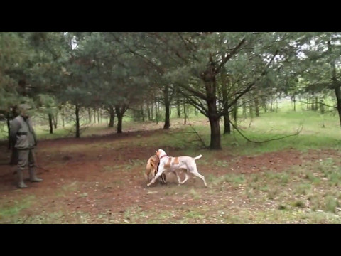 Bracco Italiano - aport lisa / fox retrieve