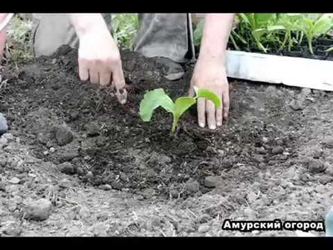 ТЫКВА посадка тыквы рассадой в открытый грунт (Сибирь, Урал, Дальний Восток)